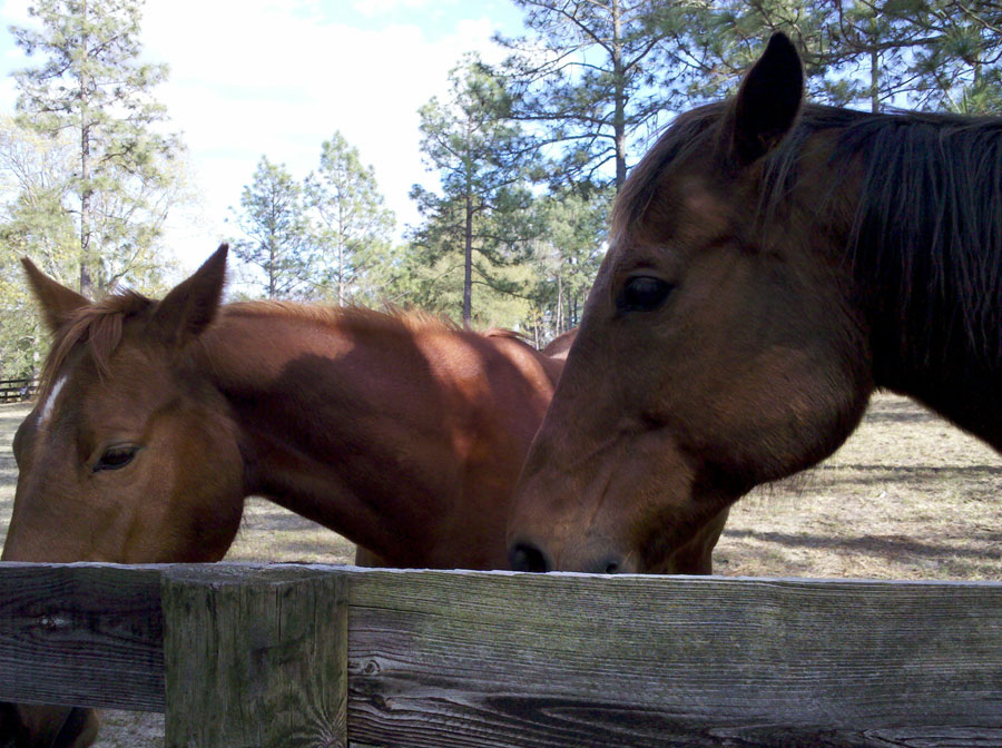 horses in southern pines, nc